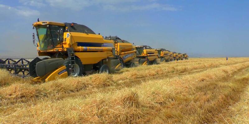 Muş'ta buğday bereketi