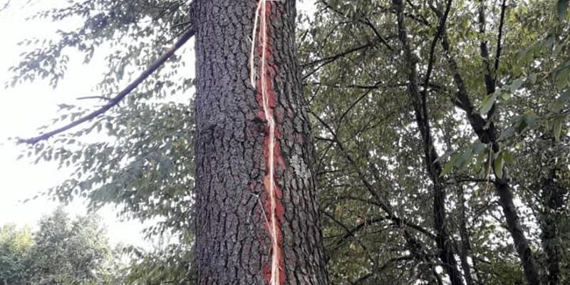 Yıldırım düşen ağaçta iz oluştu