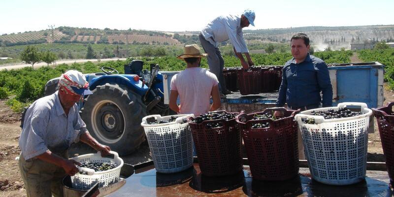 Kilis'te üzüm kurutulmaya başlandı