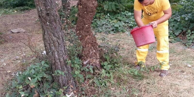 Çıra için zarar verilen ağaçlar tedavi ediliyor