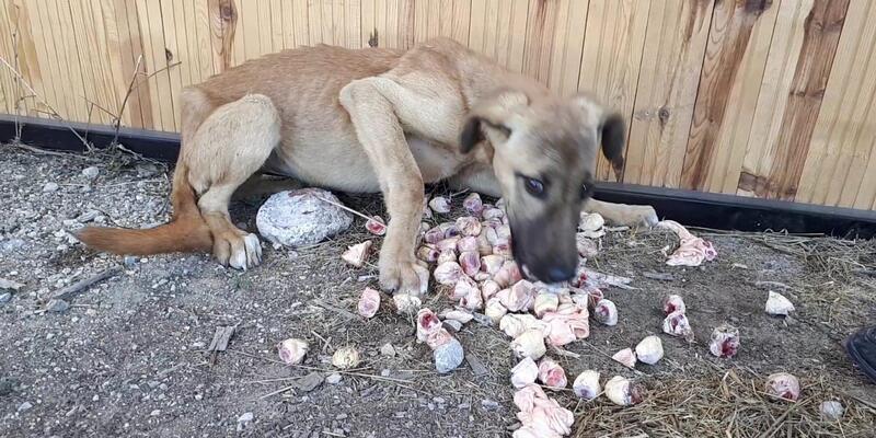 Açlıktan bitkin düşen köpeği zabıta kurtardı