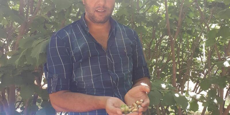Karadeniz'den Başkale'ye getirdiği fındıktan 5 yıl sonra hasat aldı