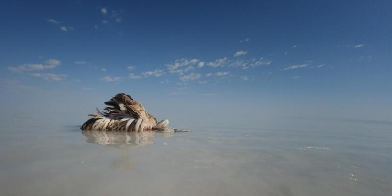 Tuz Gölü'nde yavru flamingo ölümleri