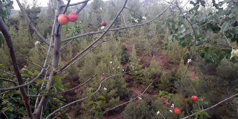 Erik ağacı çiçek açıp, meyve verdi