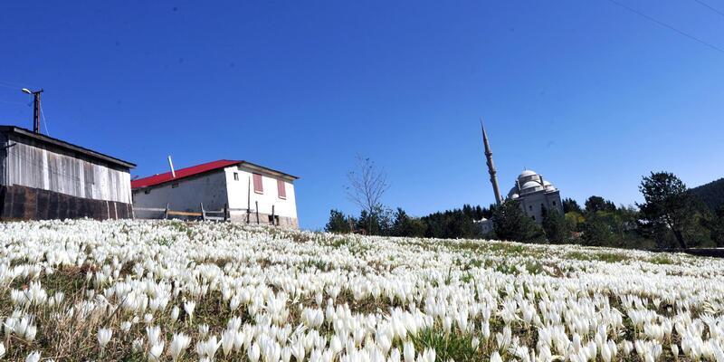 Doğu Karadeniz 'Vargit' çiçekleri ile rengarenk oldu
