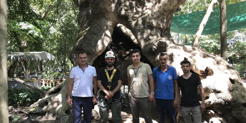 Muğla'daki anıt ağaçlara rehabilitasyon