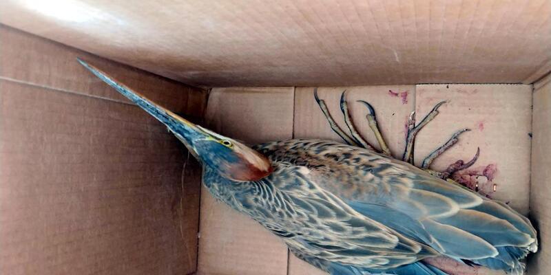 Sultan Sazlığı'nda yaralı bulunan kuşlara tedavi