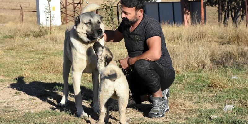 Kangal üreticisi: Köpeklerimizin İtalya'ya gitmesinden gurur duyarız