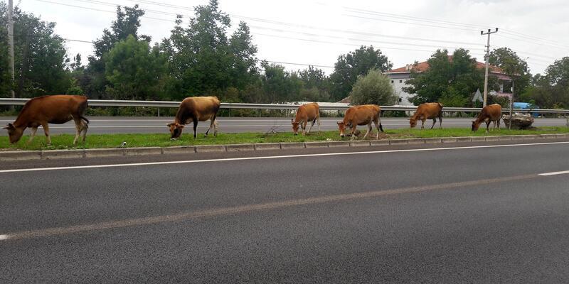 Yol ortasında otlayan büyükbaş hayvanlar, sürücüleri korkuttu