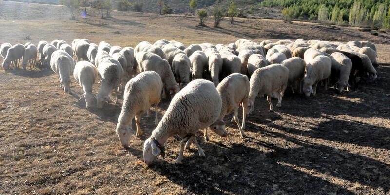 'Küçükbaş hayvancılıkla ithal et sorunundan kurtuluruz'