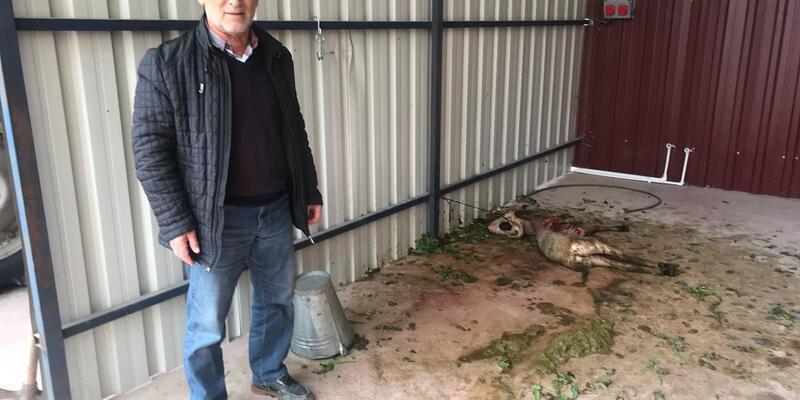 İş yerindeki kuzusunu kurtların parçaladığını iddia etti