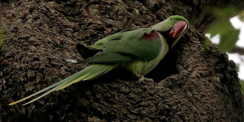 İstanbul'un sevimli misafirleri: Papağanlar