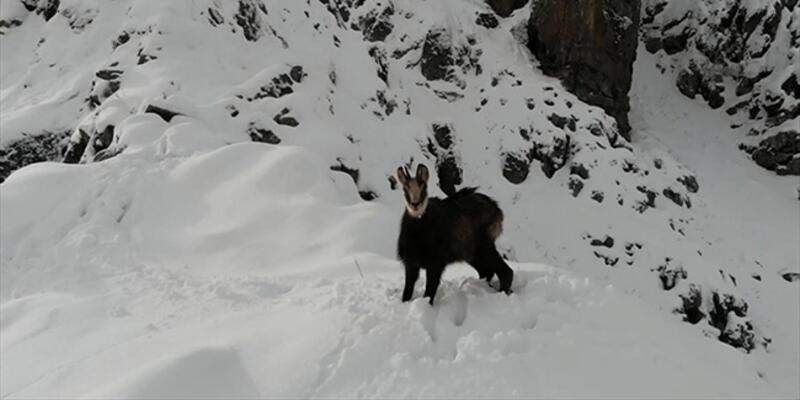 Nadir görülen çengel boynuzlu dağ keçisi drone ile görüntülendi