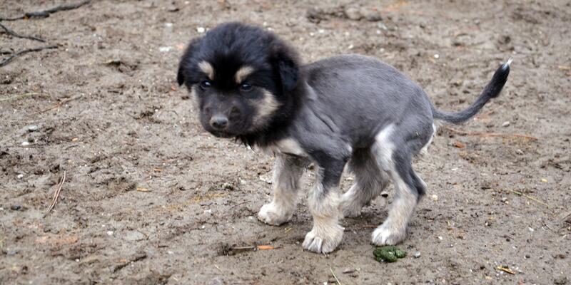 Yer: Çorum... Aslan görünümlü köpek yavrusu