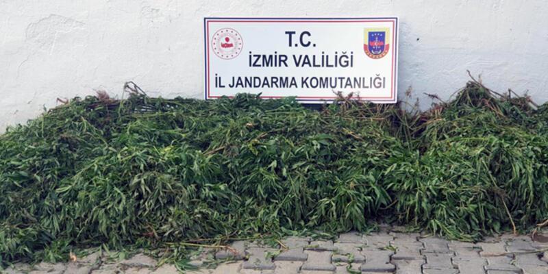 İzmir'de 7 bin kök Hint keneviri ele geçirildi