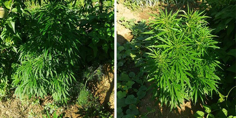 Bahçelerinde Hint keneviri ele geçirilen çifte gözaltı