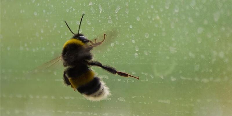 'Türk arısı' İngiltere'yi alarma geçirdi
