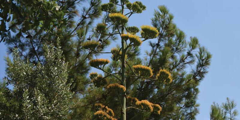 Agave bitkisi Soma'da 30 yıl sonra çiçek açtı