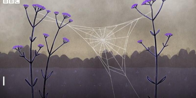 Örümcek ağları kuşların hayatını kurtardı!