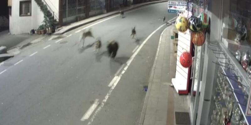 Yavru ayı ve köpekler Rize'yi birbirine kattı