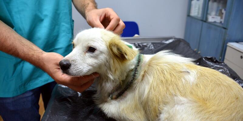 Boynu bıçakla kesilen köpek iyileşti