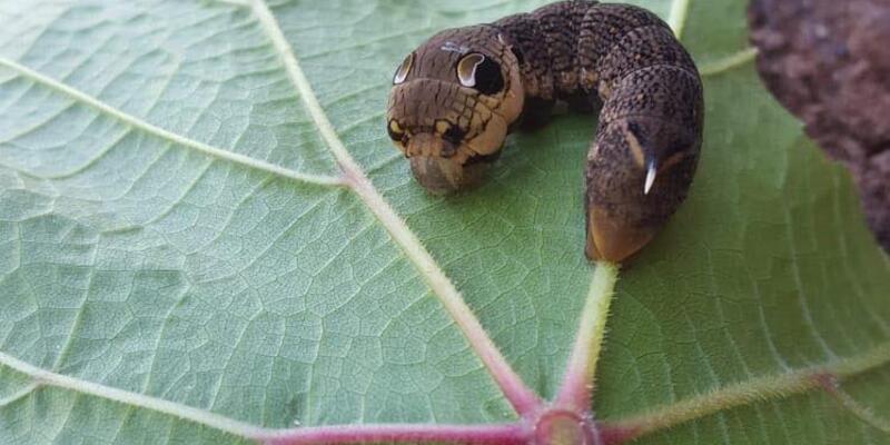 Ender rastlanan fil şahin güvesi larvası görüntülendi