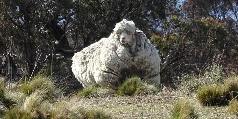Dünyanın en yünlü koyunu 'kaçak Chris' öldü