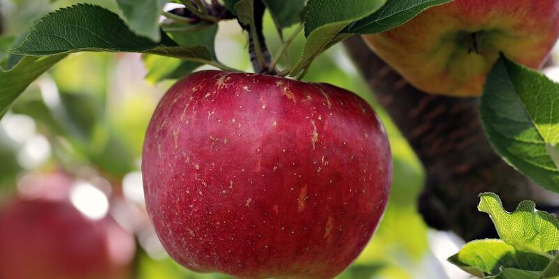 Elma sirkesi yapımı ve tarifi… Evde elma sirkesi nasıl yapılır?