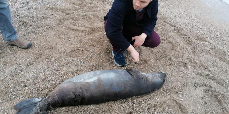 Akdeniz foku kıyıya vurdu