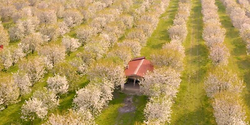 Sultandağı'nda kiraz ağaçları çiçek açtı