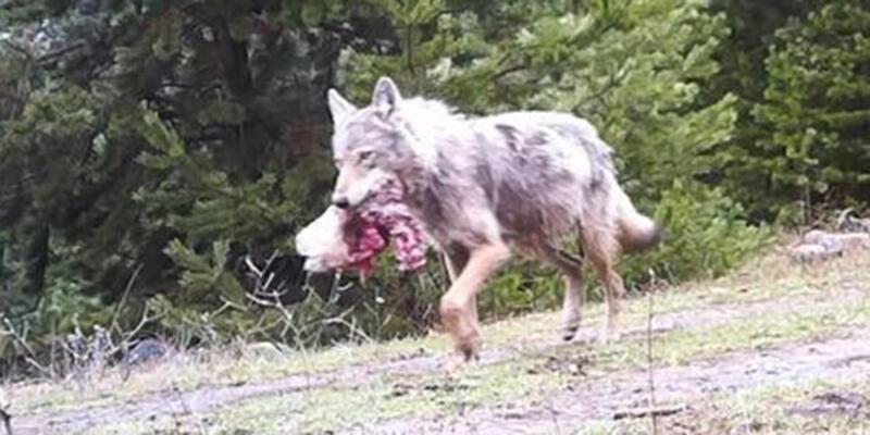Avını götüren kurt fotokapana takıldı
