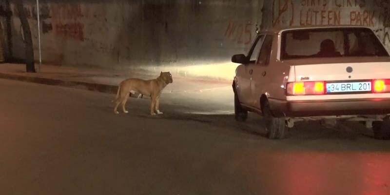 Sultangazi'de başıboş köpek korkusu devam ediyor