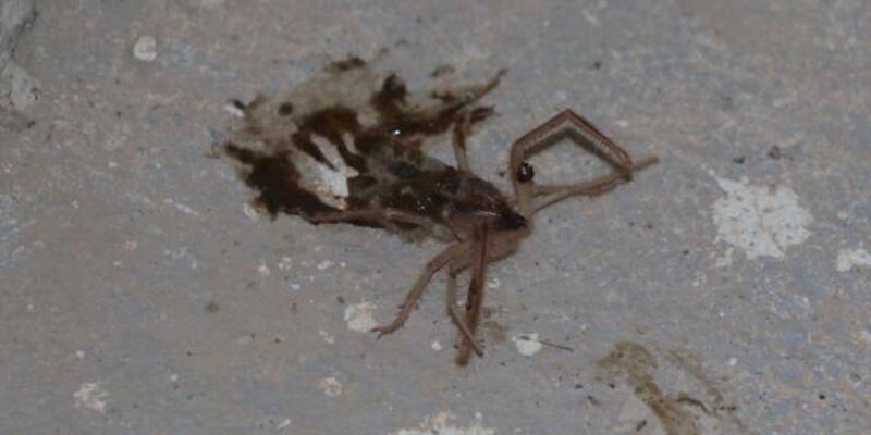 Et ile beslenen örümcek mahalleliyi korkuttu