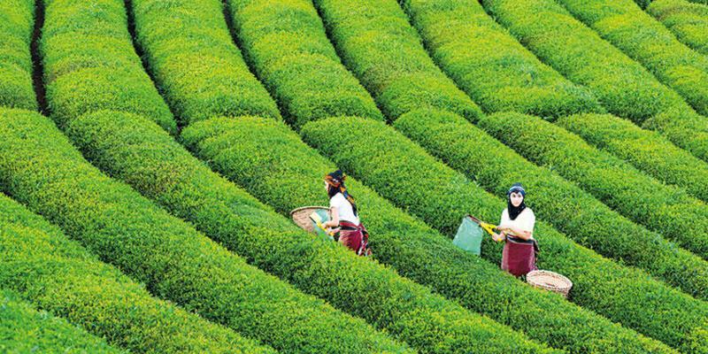 Çayın vatanı Rize'de çaya kumpas!