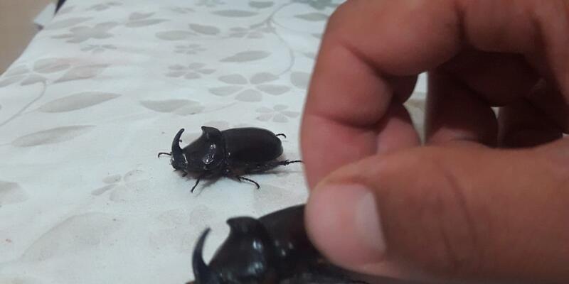 Son dakika:Bingöl'de gergedan böceği görüldü