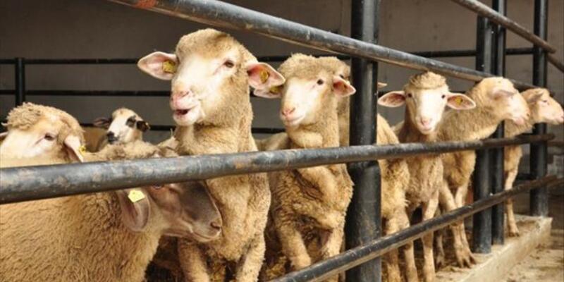 Bilim Kurulu Üyesi Özlü: Kurban etinde bulaş riski olabilir
