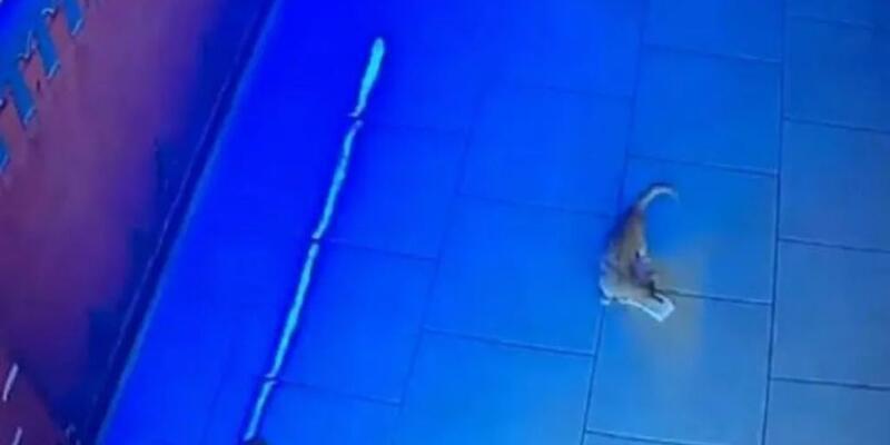 Rusya'da kasadan para çalan kedi 'suçüstü yakalandı'
