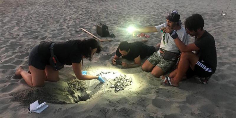 Son dakika... Patara Plajı'nda, caretta caretta yuva rekoru