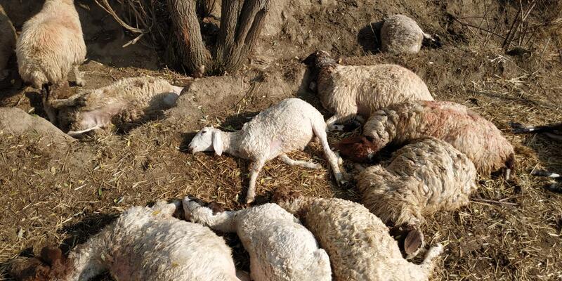 Yıldırım düşmesi sonucu 39 koyun telef oldu