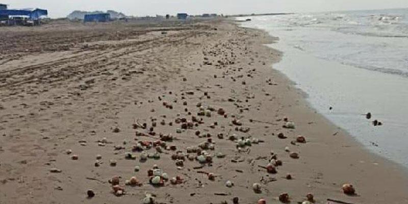 Yüzlercesi sahile vurdu! Görenler şaştı kaldı
