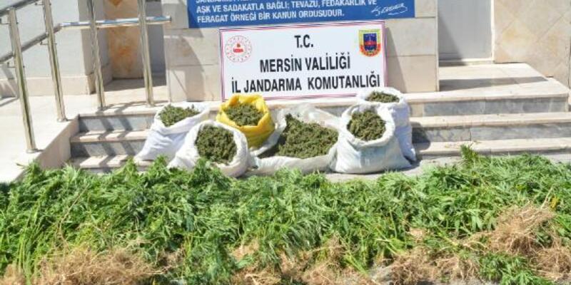 Son dakika... Mersin'de kenevir yetiştirilen tarlanın sahibi tutuklandı