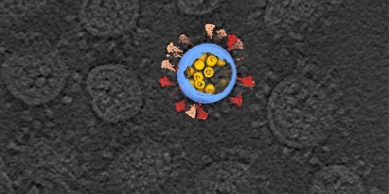 Koronavirüs vücut hücrelerini kreş gibi kullanıyor