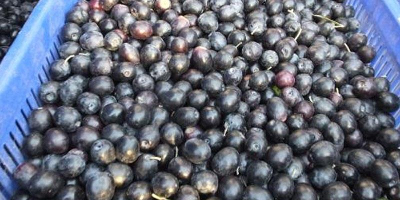 Tarım Kredi Kooperatifi zeytin alım fiyatını açıkladı