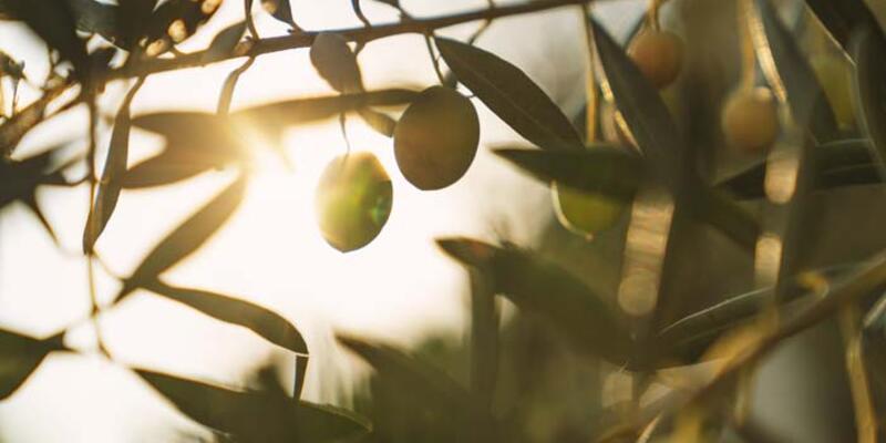 Zeytin Yaprağı Çayı Nasıl Yapılır? Zeytin Yaprağı Çayının Faydaları Nelerdir? Neye İyi Gelir?