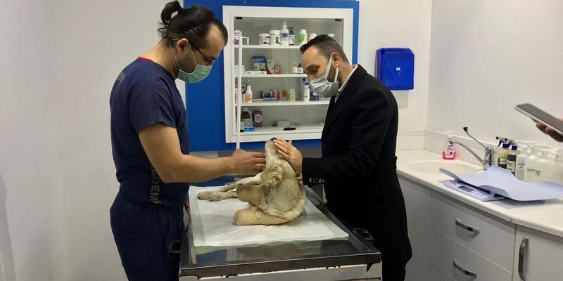 Bacakları kesilmiş halde bulunan Pamuk isimli köpeğin tedavisi sürüyor