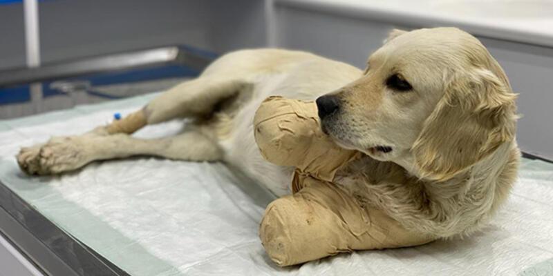 Patileri kesilen yavru köpek, hayati tehlikeyi atlattı
