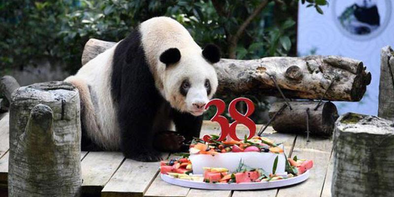 """Dünyanın en yaşlı pandası """"Şinşing"""" 38 yaşında öldü"""