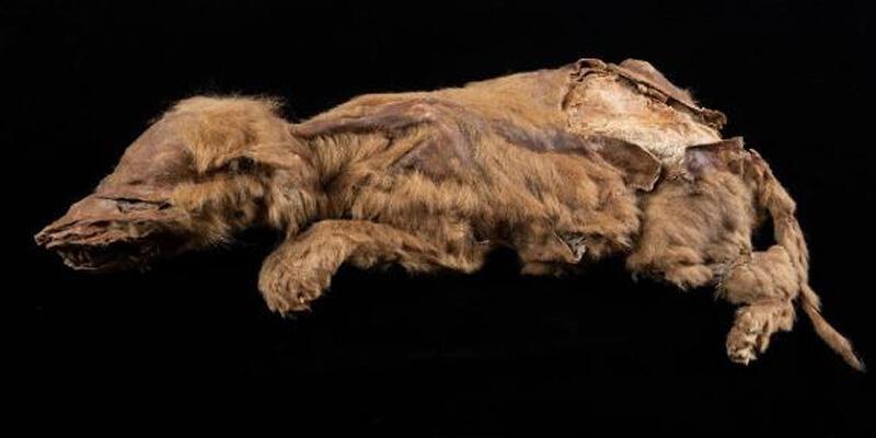 Kanada'da 57 bin yıllık dişi kurt yavrusu fosili bulundu