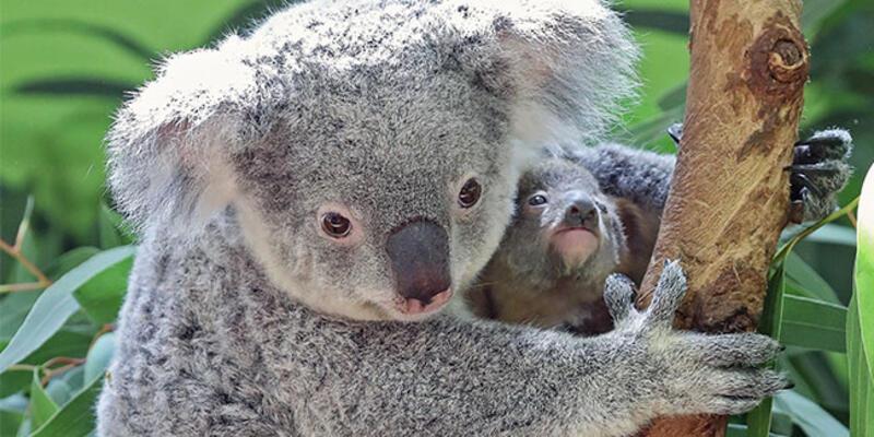 Dünyanın en yaşlı koalası Lottie öldü