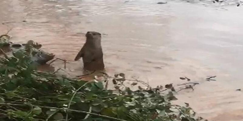 'Nesli tehdide yakın' kategorisinde! Bartın Irmağı'nda görüntülendi